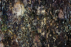 Tree bark. Texture, take from tamarind tree Stock Photography