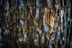 Tree bark. Texture, take from tamarind tree Royalty Free Stock Photo