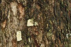 Tree bark texture. Royalty Free Stock Photo