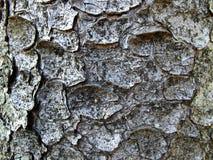 Tree bark texture wallpaper Royalty Free Stock Photos