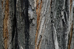 Tree. A bark of a tree trunk in a Belarusian forest Stock Photo