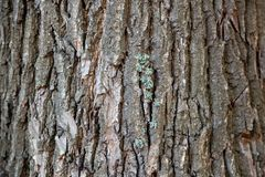 Tree bark, tree trunk, old tree,Oak tree stock photography