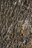 Tree bark with vine Stock Images