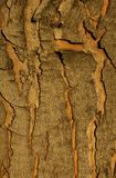 Tree bark in warm late day light Royalty Free Stock Images