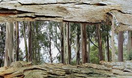Tree Bark Window to Eucalyptus Trees Stock Photography