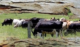 Tree Bark Window to Grazing Cows Stock Image