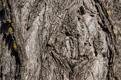 Tree bark with yellow moss. The background is tree bark royalty free stock images