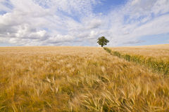 Tree in Barley field Royalty Free Stock Image