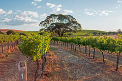 Tree in Barossa Valley Vineyard with early morning cloudy sky Stock Images