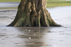 Tree base captured by frozen water flood Stock Image