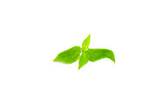 Tree Basil Leaves. On white background Royalty Free Stock Photography