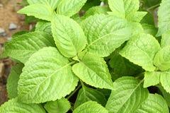 Tree Basil or Ocimum gratissimum Stock Image