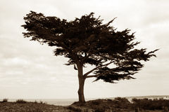 Tree on the beach. Sepia image of a tree standing alone on the beach Stock Photography