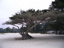 Tree on beach. Scenic view of old tree on sandy beach Stock Photos