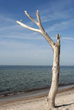 Tree at the Beach. A dried-up tree at the beach royalty free stock photography