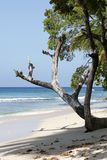 Tree on beach. Caribian beach with tree Royalty Free Stock Images
