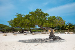 Tree on the beach in Aruba Royalty Free Stock Images