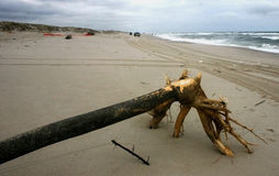 Tree on the beach, brought by storm, USA Stock Photos