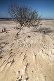 Tree on beach at Culbin on the Moray Firth in Scotland. Stock Photos
