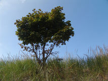 Tree in beach grass Royalty Free Stock Image
