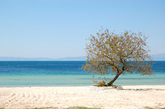 Tree on a beach at the luxury hotel Royalty Free Stock Image