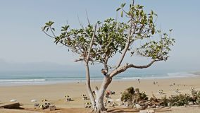 Tree Beach Panorama 4k. Footage of a tree next to a beautiful beach in Morocco. Shot in 4k stock video footage