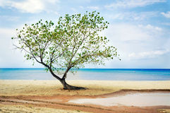 Tree at beach Royalty Free Stock Photo