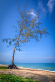 Tree on a beach. A solitary tree stands on a deserted beach in Phuket Thailand Stock Images