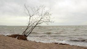 The tree on the beach after the storm stock video