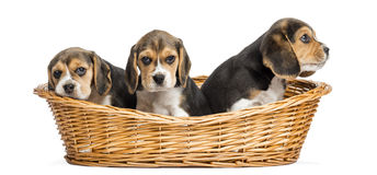 Tree Beagle puppies in a wicker basket, isolated Royalty Free Stock Images