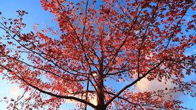 Tree on a beautiful Day. Tilt up of a beautiful Tree on a beautiful fall day.  The tree has tones of orange and red stock video