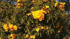 Tree with beautiful yellow flowers. Green tree with bright yellow flowers lit by the sun stock footage