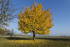 Tree with beautiful yellow leaves Stock Image