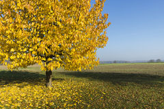 Tree with beautiful yellow leaves Royalty Free Stock Photos