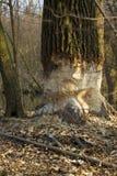 Tree and beaver. Royalty Free Stock Photo