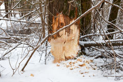Tree beavers gnaw winter Royalty Free Stock Photo