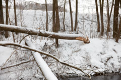 Tree beavers gnaw winter Royalty Free Stock Photos