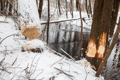 Tree beavers gnaw winter Royalty Free Stock Image