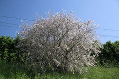 Tree became white by web created by Ermine moth in the Netherland. S royalty free stock photos