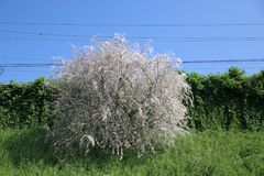 Tree became white by web created by Ermine moth in the Netherland. S stock images
