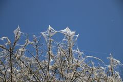 Tree became white by web created by Ermine moth in the Netherland. S stock photos