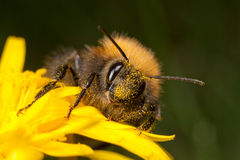 Tree Bee - Bombus hypnorum Royalty Free Stock Photo