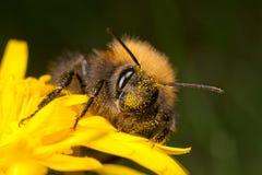 Tree Bee - Bombus hypnorum royalty free stock photo