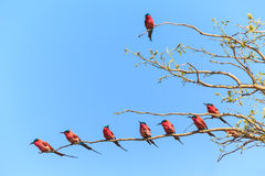 Tree with bee eaters sitting on a branch Stock Photo