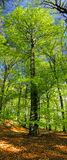 Tree - beech. Natural beech forest, spring time - tree royalty free stock image