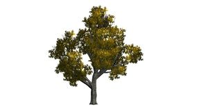 Tree beech in the autumn in the wind. Tree beech in the autumn on white background and alpha cannel stock footage