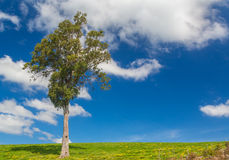 Tree at Bega, New South Wales. A lone tree at Bega, New South Wales Stock Image
