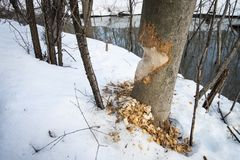 Tree being cut down by beavers in a park