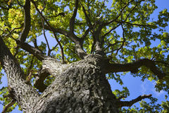 Tree from below Stock Photography