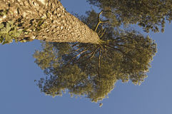 Tree from below Royalty Free Stock Photo